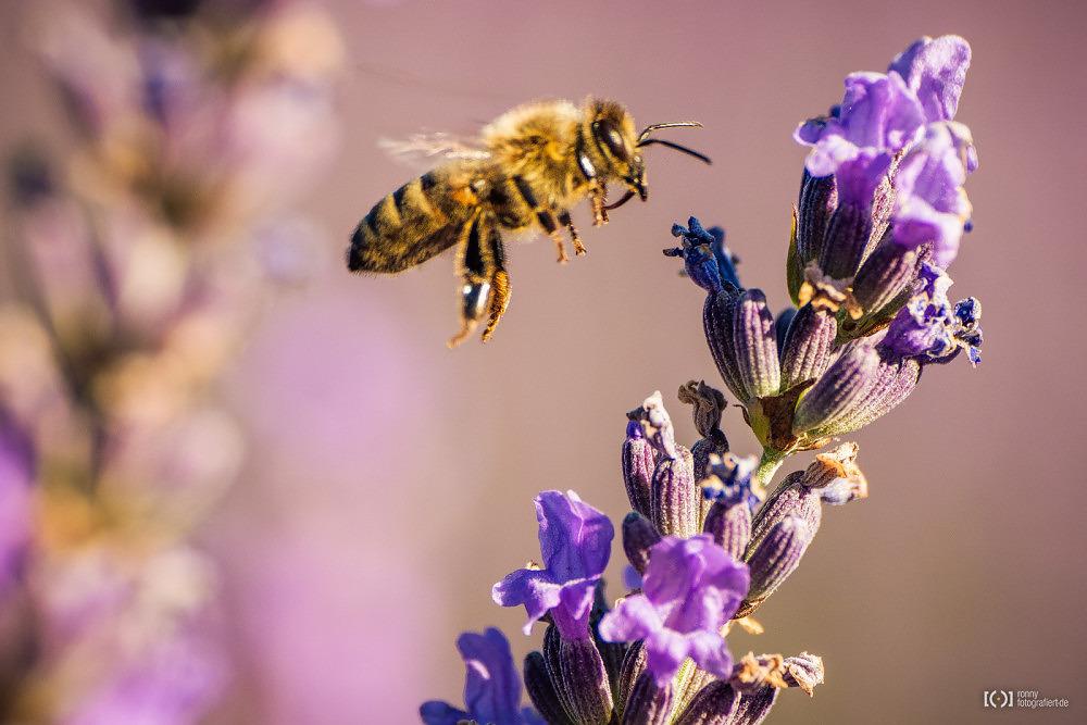Foto Biene im Landeanflug an Lavendelblüte von Bärbel Stork