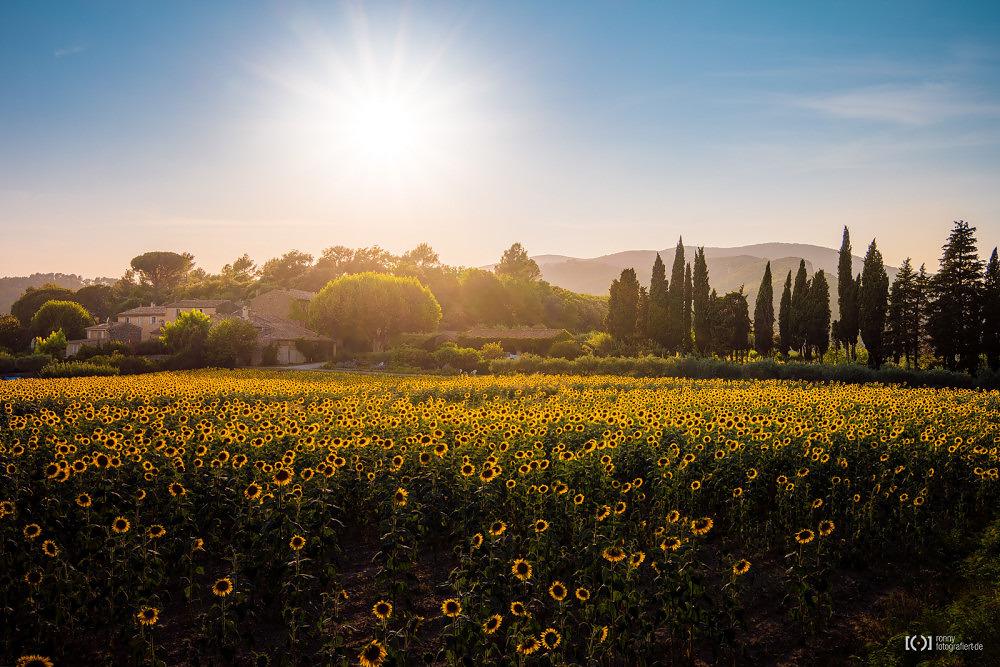 Foto Sonnenblumenfeld bei Lourmarin von Ronny Walter