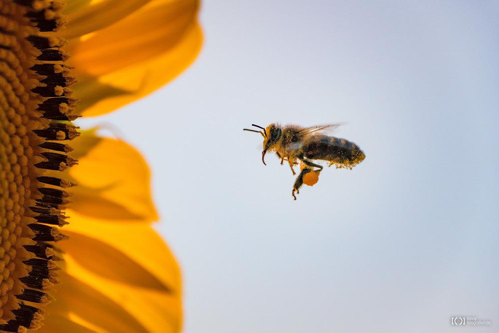 Foto Biene mit Pollen im Flug von Bärbel Stork
