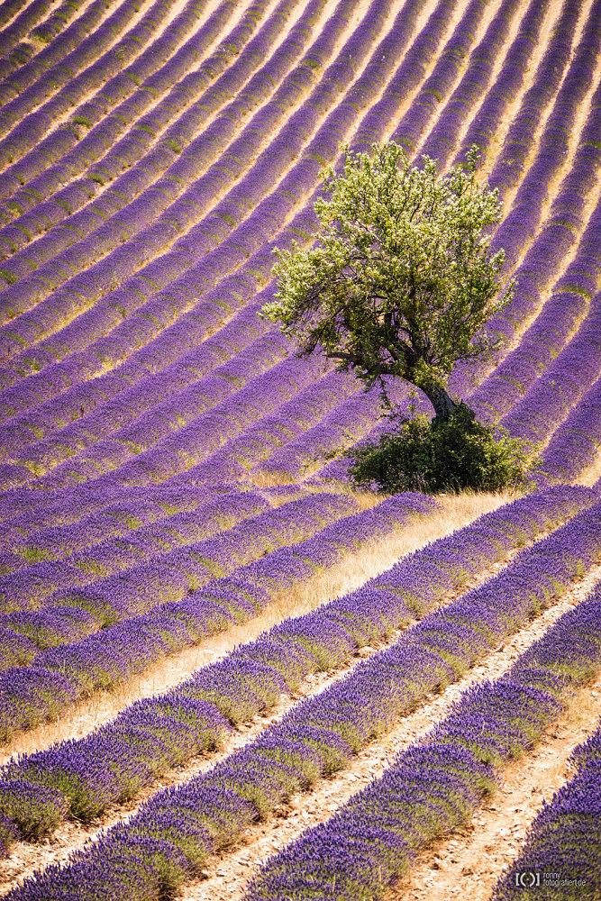 Foto Baum im Lavendelfeld von Ronny Walter