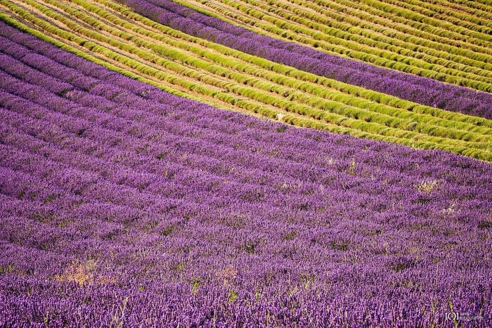 Foto Lavendel, halb in Blüte, halb geerntet von Bärbel Stork