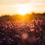 Foto Lavendelfeld im Sonnenuntergang bei Sault von Ronny Walter