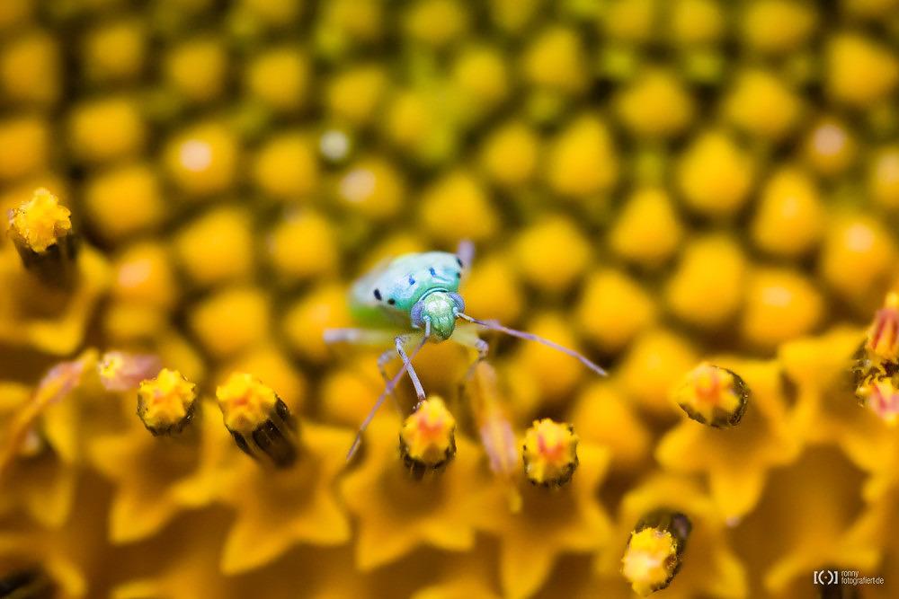 Foto Sonnenblume auf einem Feld bei Puimoisson von Ronny Walter
