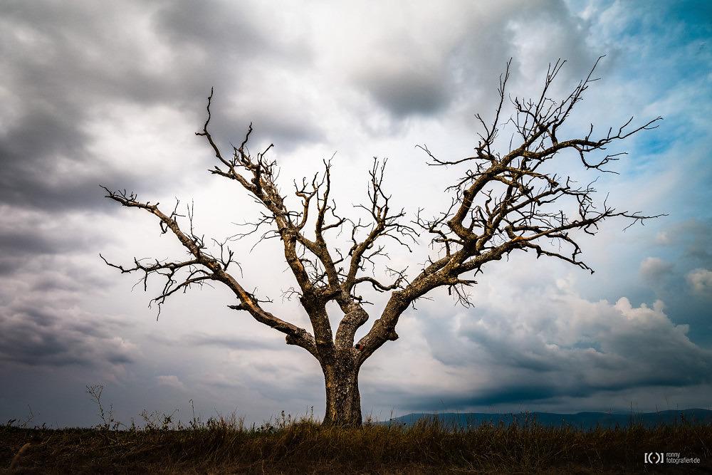 Foto Abgestorbener Baum vor dramatischen Wolken am Rande eines Lavendelfeldes von Ronny Walter